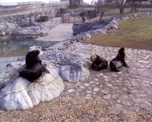 Lions de mer espagnols