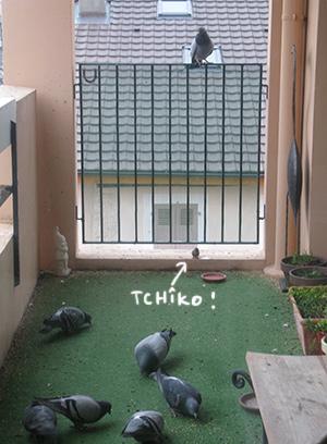 Tchîko vs pigeons