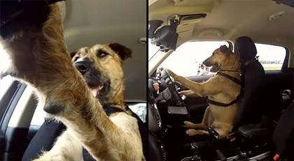 dog-driver.jpg